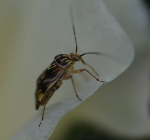 Cover photo for Section 18 Emergency Exemption Approved for Transform in 2019 Cotton- Plant Bugs